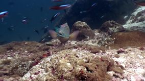 Parrot fish underwater eats coral on seabed in Maldives. Unique macro video closeup footage. Abyssal relax diving. Natural aquarium of sea and ocean stock video