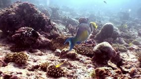 Parrot fish underwater eats coral on seabed in Maldives. Unique macro video closeup footage. Abyssal relax diving. Natural aquarium of sea and ocean stock footage
