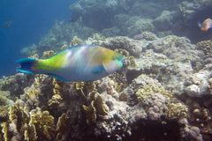 Parrot fish Royalty Free Stock Photos