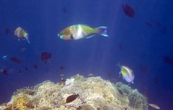 Parrot fish Stock Photos