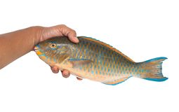 Parrot Fish. On white background Royalty Free Stock Photos