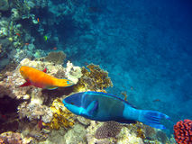 Parrot fishes Stock Images