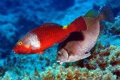 Parrot fishes Royalty Free Stock Image