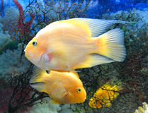 Parrot fishes Stock Photo