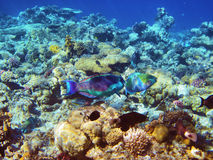 Parrot fishes on the coral reef Royalty Free Stock Images