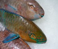 Parrot Fishes Stock Photos
