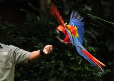 Parrot in flight. A parrot coming to a rest on its handler's hand Royalty Free Stock Photography