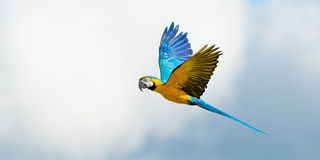 Parrot In Flight On Cloudy Sky Stock Image