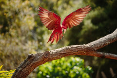 Parrot in flight at Currumbin Wildlife Park Royalty Free Stock Images