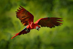 Parrot flight in the green jungle habitat. Red parrot in fly. Scarlet Macaw, Ara macao, in tropical forest, Costa Rica, Wildlife s. Cene from nature Royalty Free Stock Photos