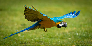 Parrot In Flight Over Grass Royalty Free Stock Photography