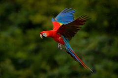 Parrot flight. Red parrot in rain. Macaw parrot fly in dark green vegetation. Scarlet Macaw, Ara macao, in tropical forest, Costa. Rica royalty free stock image
