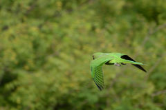 Parrot in flight Royalty Free Stock Images