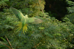 Parrot in flight Royalty Free Stock Image