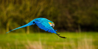 Parrot In Flight with Wings Curved Downwards. Side view of A Blue And Yellow Macaw parrot in flight over blurred grass with wings turned down at Banham Zoo in Stock Image