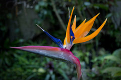 Tropic flower bird of paradise Royalty Free Stock Image