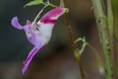 Parrot flower, rare flower Stock Image