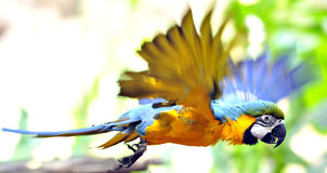 Parrot flying. Parrot flapping its wing with motion blur Stock Photos