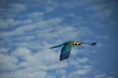 Parrot flying. Free flying blue and gold macaw parrot with the sky as a background and room for text Stock Photos