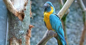 Parrot Flying Away From The Branch Of A Tree. Blue And Yellow Macaw Ara Ararauna. Parrot Flying Away From The Branch Of A Tree. Closeup Detail - DCi 4K stock video