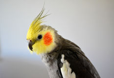 Parrot. A funny and beautiful domestic parrot Royalty Free Stock Photo