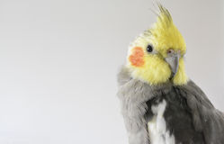 Parrot. A funny and beautiful domestic parrot Stock Photos
