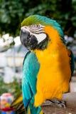 Parrot  gaze left eye Stock Image