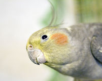 Parrot gazing Stock Photography
