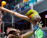 Parrot gnaws a branch in pet store. Parrot gnaws a branch in a pet shop royalty free stock photography