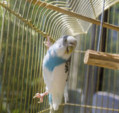 Parrot in a golden cage Royalty Free Stock Photos