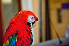The parrot in Greece Stock Photos