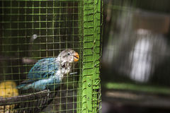 Parrot in green cage Royalty Free Stock Photography