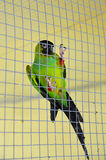 Parrot green in cage Stock Photography