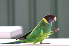 Parrot. Green Lorikeet Parrot snacking on food using its foot at a zoo dining table in Perth royalty free stock photo