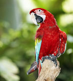 Parrot in green rainforest. Royalty Free Stock Photos