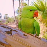 Parrot Royalty Free Stock Images
