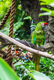 Parrot. Green parrot on a tree branch Stock Photos