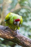 Parrot green-winged macaw Royalty Free Stock Images