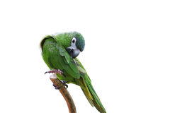 Parrot with green and yellow feathers isolated Royalty Free Stock Image