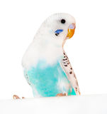 Parrot. Grey-blue wavy parrot, poultry Stock Images