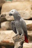 Parrot 01. Grey parrot on a branch Stock Photos
