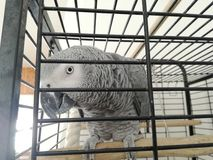 Parrot Grey Talking Beautiful Funny Eyes. Travel Cage Big Bird Lovely stock photos