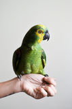 Parrot on hand Stock Photography