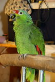 Parrot. Happy parrot sings on the perch Stock Images