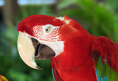 Parrot head. Closeup up view of exotic parrot head Royalty Free Stock Photography