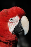 The parrot head. The parrot head and face with thick feathers Stock Images