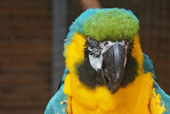 Parrot. Head of a Blue and Yellow Macaw Stock Photos