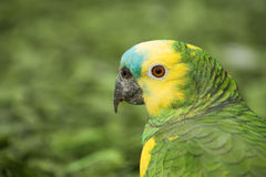 Parrot head close up. Royalty Free Stock Photos