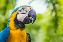 A Parrot. Head detail of Yellow/Blue petted parrot Stock Photos