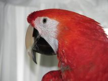Parrot head royalty free stock image